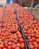 بازار گوجهفرنگی کشاورزان آبدانی در سراشیبی سقوط