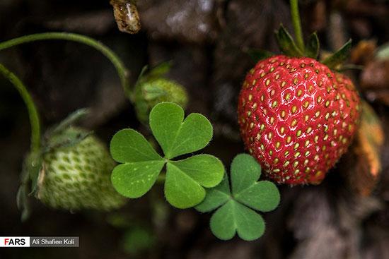 برداشت توتفرنگی در گیلان