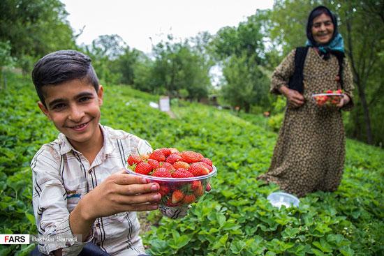 برداشت توتفرنگی در «ژاورود»