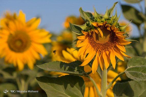 مزرعه آفتابگردان / تاکستان