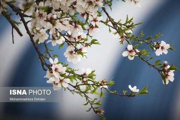 تصاویر؛ رویش زودهنگام شکوفهها در شیراز