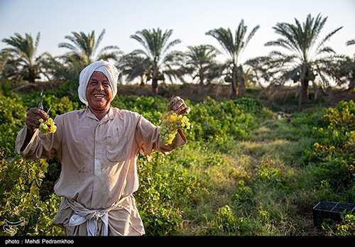 برداشت انگور از تاکستانهای غزاویه