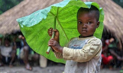 چتر طبیعی کودکان گینهای هنگام بارش باران