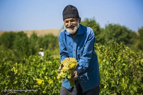 برداشت انگور در باغات ملایر